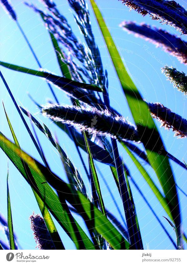 Gegen-Licht-Gestalten V Gras grün Gegenlicht Allergiker Pflanze Wiese Frühling Wachstum glänzend Halm Stengel Ähren Feld Blühend Bewegung Wind hauch blau Himmel