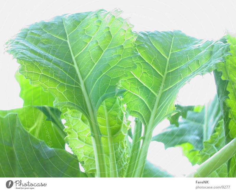 jungerKohl Blatt Gemüse