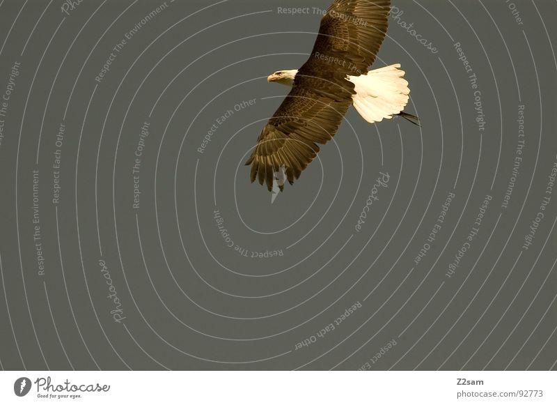 herr der lüfte II Herr Luft Vogel Adler Schnabel Tier Lebewesen Federvieh Macht groß stark Greifvogel töten Jäger USA eagle Flügel Deutschland fliegen fly frei