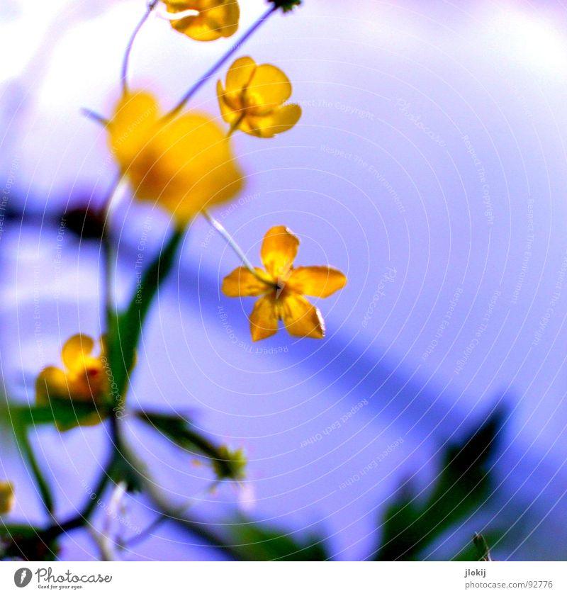 Nix für bit.it's Blütensalat Hahnenfuß Scharfer Hahnenfuß gelb Europa Wiese Straßenrand Feld Wegrand Gift Stengel Gegenlicht Zierpflanze Pflanze Staubfäden