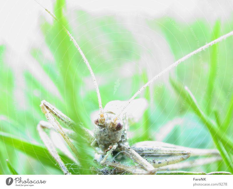 toterHüpfer Insekt Heuschrecke Tod