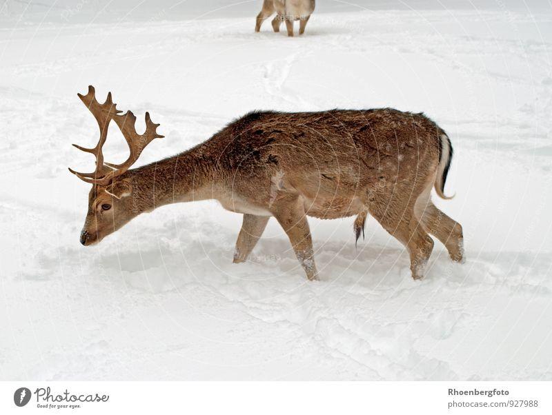 Hirsch im Winter Natur schön Landschaft ruhig Tier Wald Schnee Essen braun Eis Schneefall Wildtier nass Frost gut