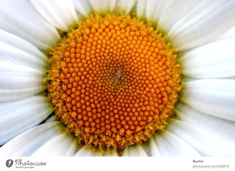 Blütenkranz Pflanze Blütenkette