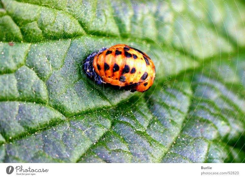 Marienkäferlarve Larve Tier Insekt Makroaufnahme Nahaufnahme Junikäferlarve orange gesprenkelt