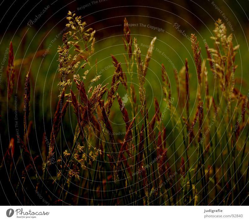 Gras schön Pflanze Sommer gelb Wiese orange Wind gold glänzend Vergänglichkeit weich zart Weide Stengel Halm