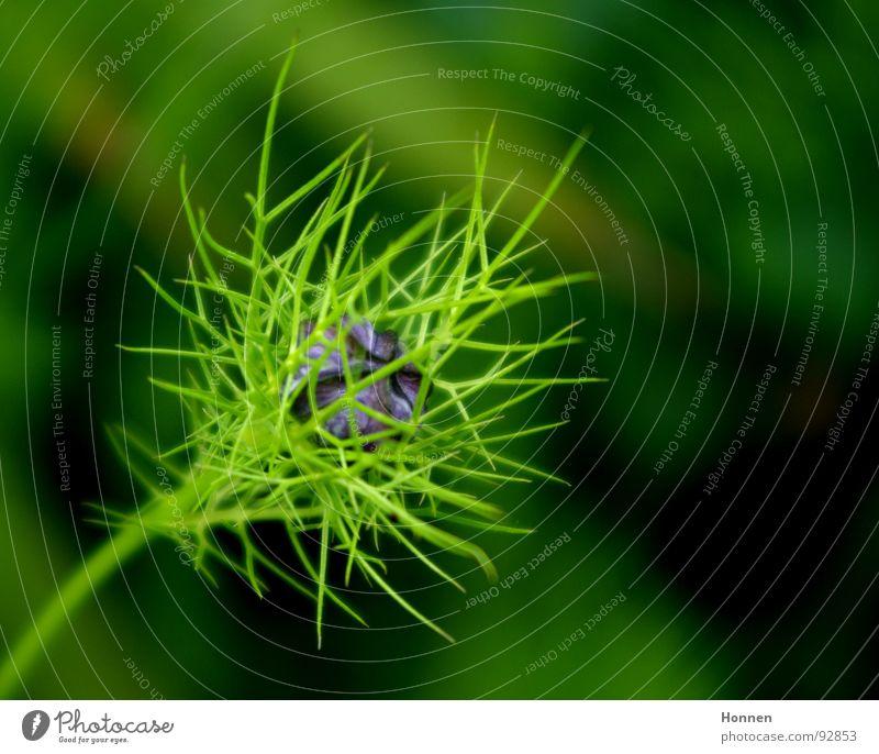 Fragile Pflanze grün violett Blume filigran Wiese verzweigt Stengel Blüte Stil Frühling Garten Blütenknospen Natur Jungfer im Grün