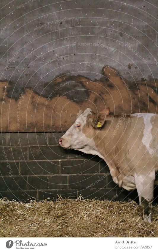 Kuh im Stall Tier Wand Mauer Bauernhof Säugetier Stroh