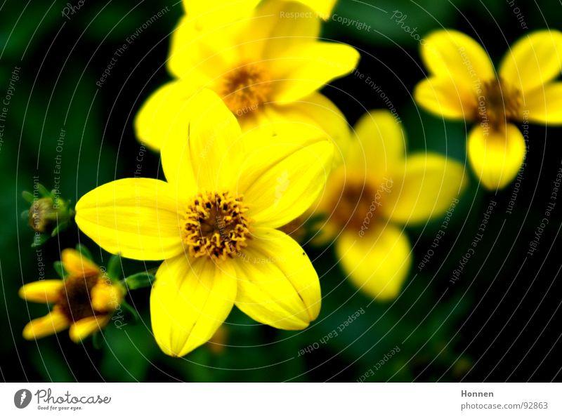 In Bloom Blume grün gelb Wiese Blüte Unschärfe Frühling Pflanze Mädchenauge Korbblütengewächs Zierpflanze Zungenblüte Garten Lampe Natur Schirmrispen