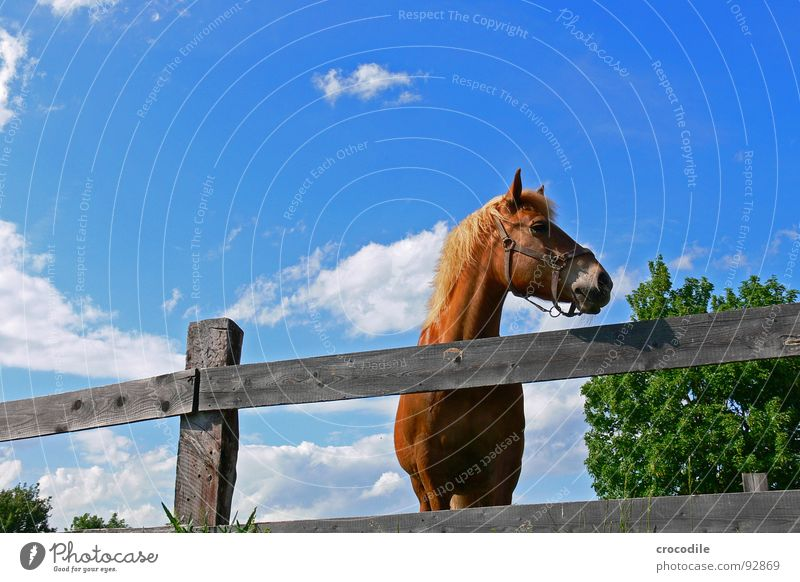 links ist frei! Pferd drehen Tier Baum Zaun trist Langeweile Sommer heiß Physik Säugetier Blick Hals Auge Ohr Wärme