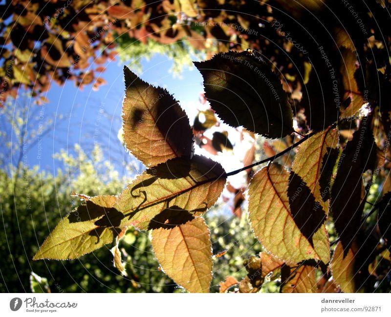 Herbst im Sommer Baum Blatt Licht Himmel Sonne Schatten Versteck Schutz Lichtschein durchleuchten