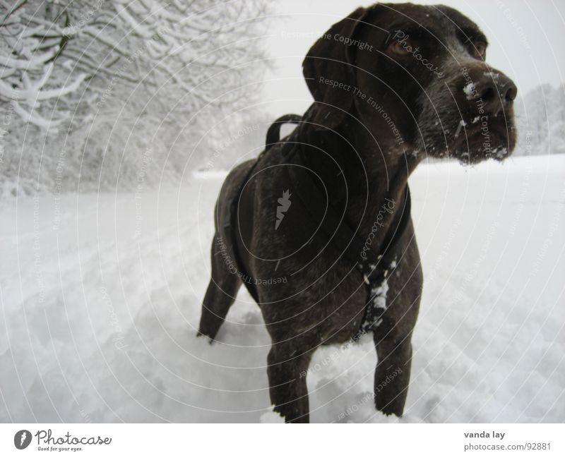 Auf der Suche nach dem Schneehasen... Jagdhund Hund Jäger Winter fixieren Geschirr herausragen Tier kalt Treue beste Luft Spaziergang auslaufen Feld