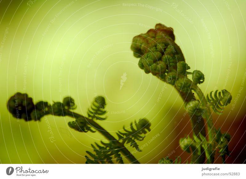 Farn Natur grün Pflanze Leben Kraft Wachstum Faust Trieb Echte Farne gedeihen Jungpflanze zusammengerollt