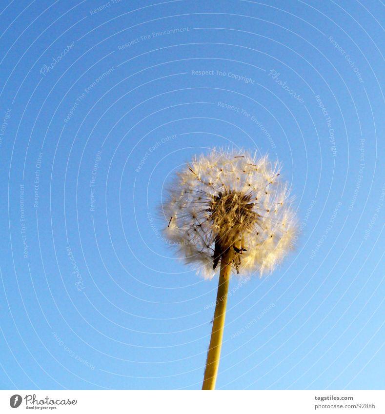 Pustekuchen Himmel blau Löwenzahn blasen Samen Fallschirm hell-blau