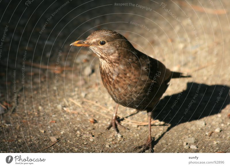 Wo ist mein Wurm Natur dunkel Vogel Suche Appetit & Hunger Waldboden Drossel Amsel