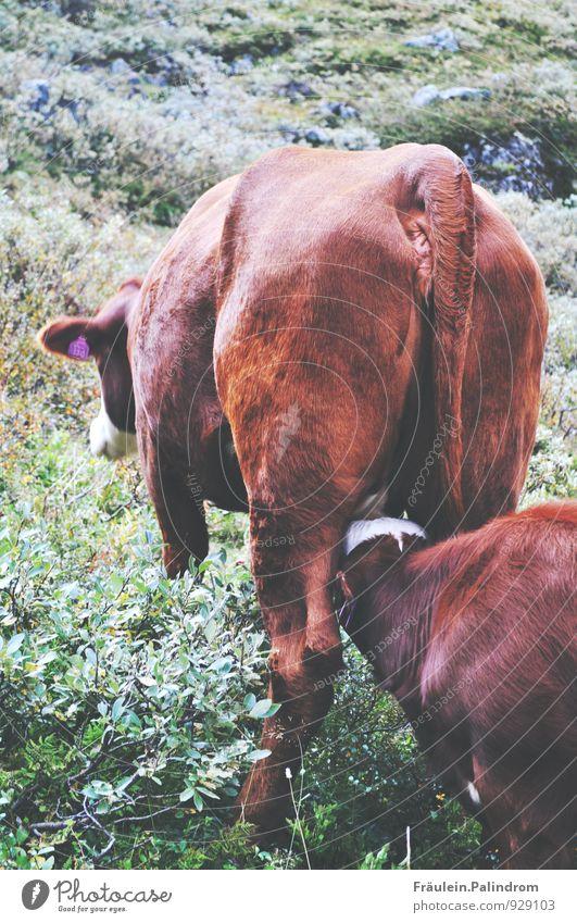 Muh. Essen Milch Umwelt Natur Landschaft Schönes Wetter Pflanze Gras Sträucher Moos Blatt Grünpflanze Nutzpflanze Wildpflanze Wiese Tier Nutztier Kuh 2