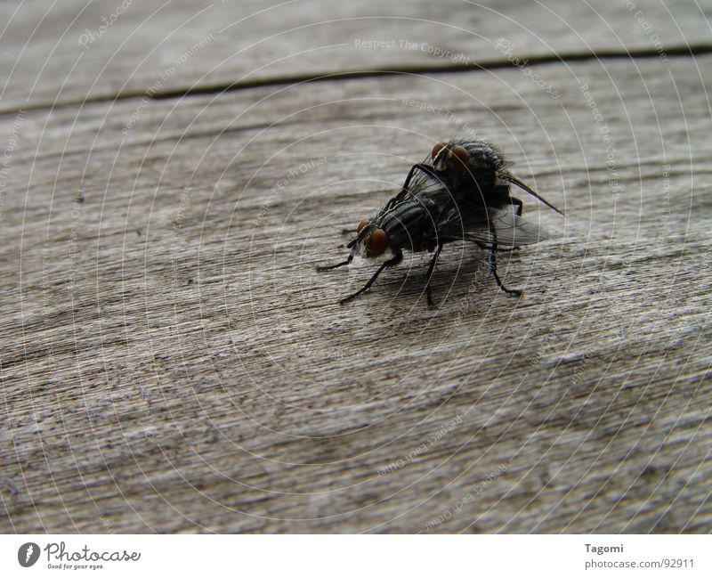 Huckepack Fortpflanzung Insekt schwarz Holz Baum Tier Nachkommen klein winzig Gefühle Fliege Fleigen fliegen Biene Copulation Flügel Insekte Beziehnung