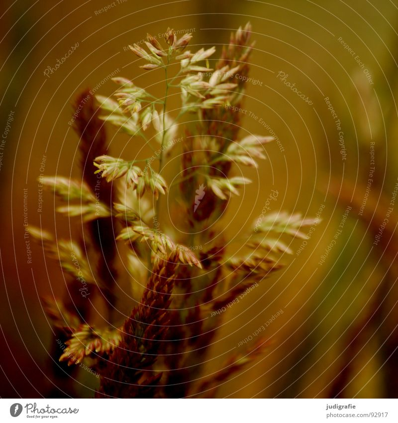 Gras schön Pflanze Sommer gelb Wiese Gras orange Wind gold glänzend Vergänglichkeit weich zart Weide Stengel Halm
