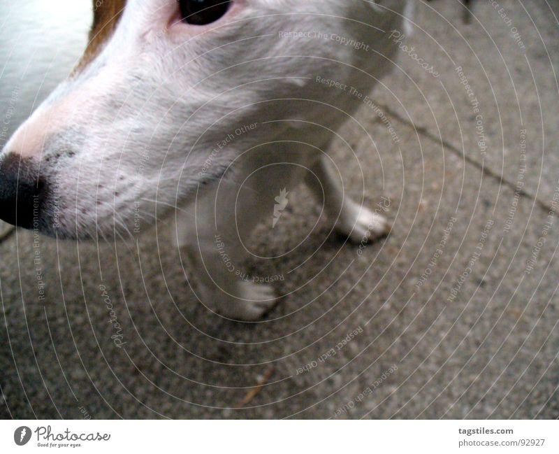 Kopffüssler weiß Auge grau Hund braun Beton drehen was Pfote Säugetier wie Schnauze entgegengesetzt Tier Terrier Russell