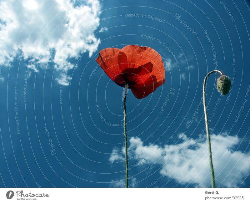 d o s Natur Himmel Blume grün blau Pflanze rot Sommer Wolken Blüte Stimmung 2 dünn zart Stengel