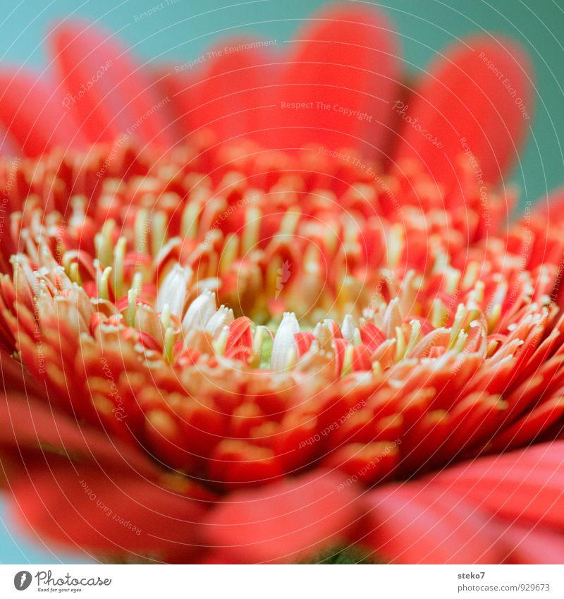 rot III Pflanze Blume Blüte Gerbera ästhetisch Duft nah schön grün weiß Blütenblatt Farbfoto Studioaufnahme Makroaufnahme Menschenleer Schwache Tiefenschärfe