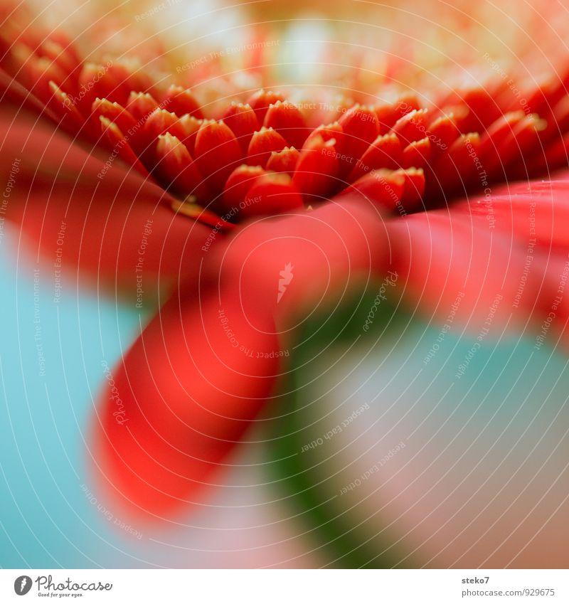 rot I Pflanze Blume Blüte Gerbera nah weich blau grün Blütenblatt Farbfoto Studioaufnahme Makroaufnahme Menschenleer Unschärfe Schwache Tiefenschärfe