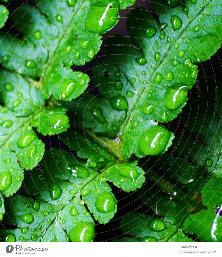 raindrop V Wasser Baum grün Pflanze Frühling Regen glänzend nass rund feucht Erfrischung Gefäße eckig Kühlung knallig