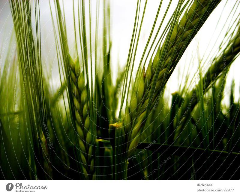 Eine Frage der Ähre grün Sommer Feld Wind Ähren