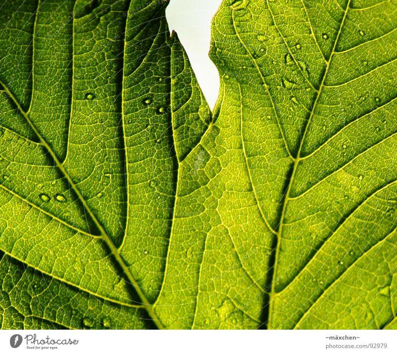 Die Zeichen eines Blattes grün Pflanze Leben Frühling Wassertropfen durchsichtig Gefäße live Druckerzeugnisse
