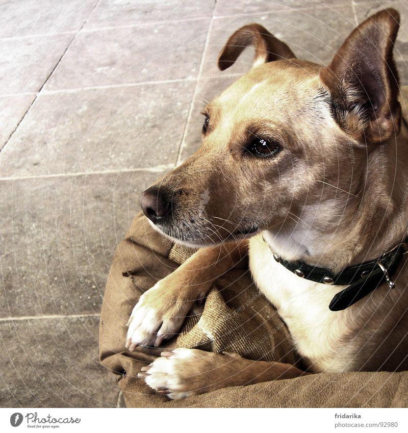 horch wer kommt denn da Fell Haustier Hund Tiergesicht Krallen Pfote 1 füttern hören Neugier niedlich Wachsamkeit beige Hundekopf Hundekorb Spaziergang