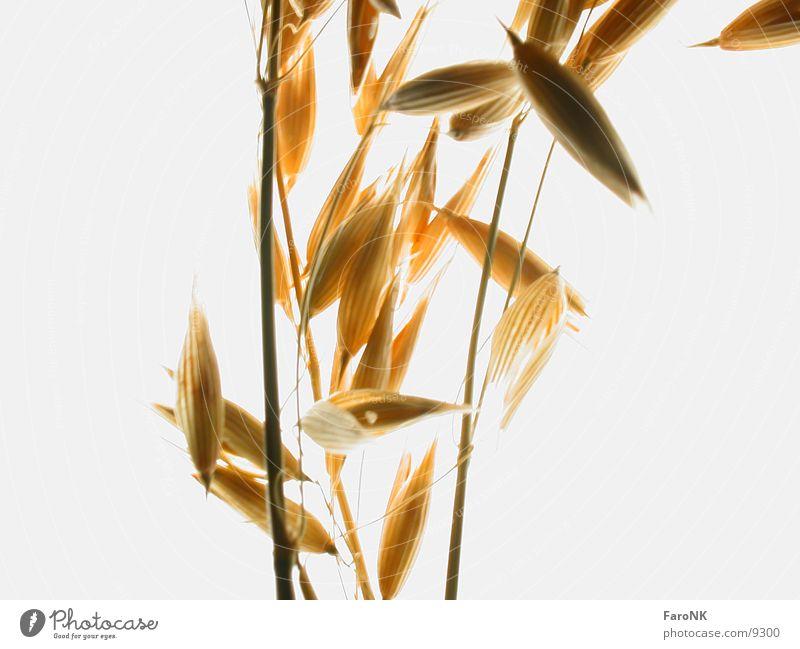 Hafer Getreide Hafer