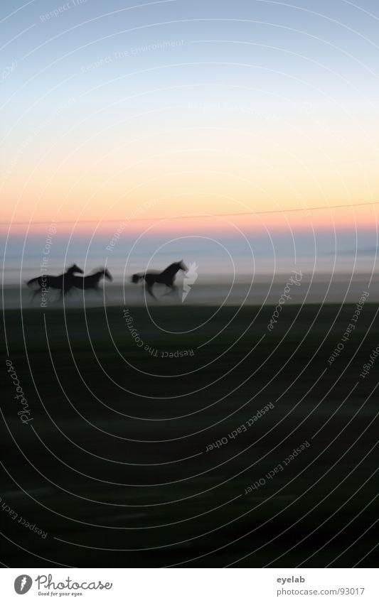 Scène D'Amour Pferd Bodennebel Pferdenarr Araber Nebel Abenddämmerung Wiese grün Gras Sonnenuntergang Sommer schwarz Stimmung Sehnsucht Fernweh Horizont laufen