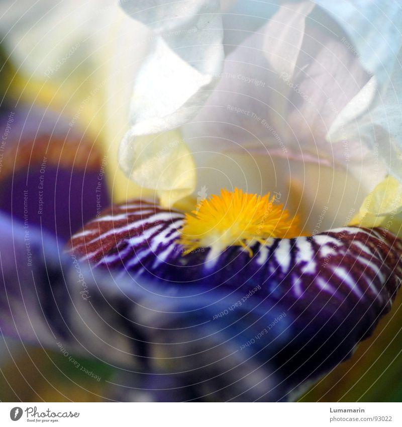 Schwertlilie weiß Pflanze Blume gelb Blüte Frühling offen weich violett Fell Blühend Hals Zunge Lilien Pollen Stempel