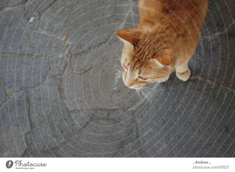 Red Tiger Katze rot Stein Ohr Säugetier Schnurrhaar Steinboden