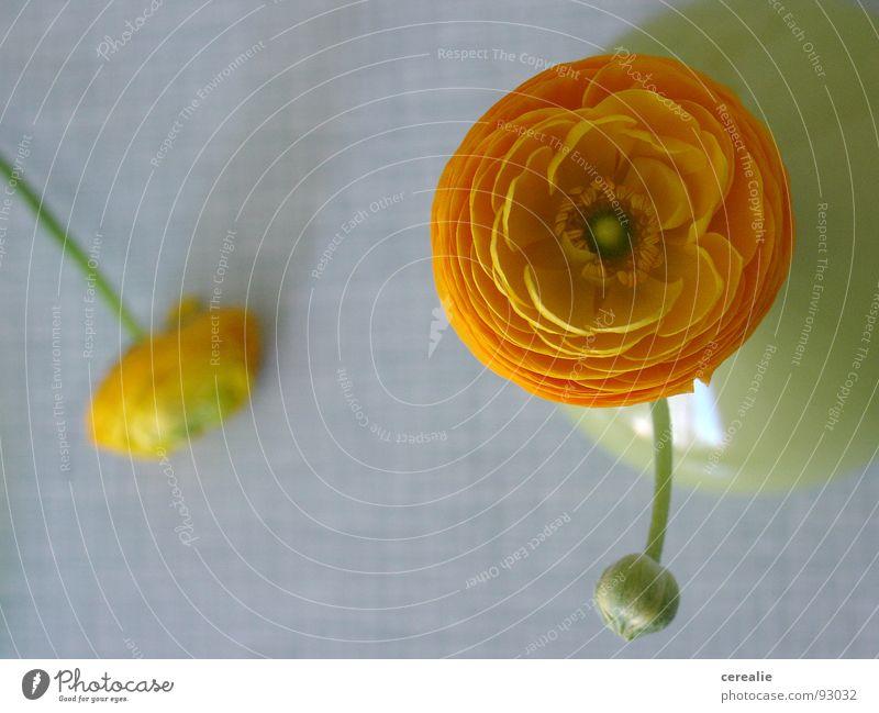 frisch geschieden Blume rund Stillleben Frühling Sommer Pflanze Unschärfe Küche grün Freundlichkeit Tisch Blüte verlieren Fünfziger Jahre Sechziger Jahre Vase