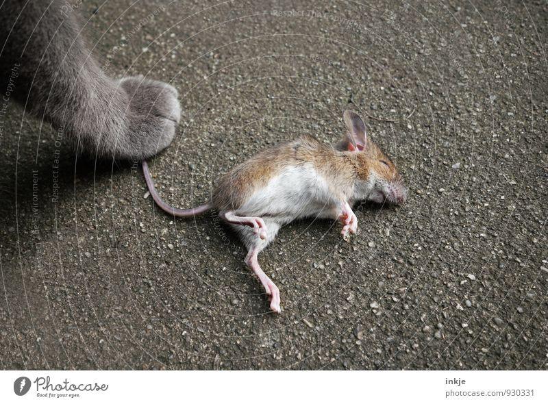 Katz und Maus. Katze Tier Gefühle Tod liegen Wildtier Erfolg stehen Macht festhalten Ende Wachsamkeit Haustier Kontrolle Pfote Stolz