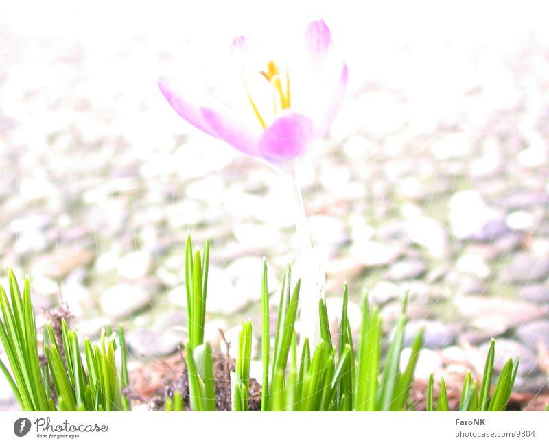 Krokus Blume Frühling Krokusse