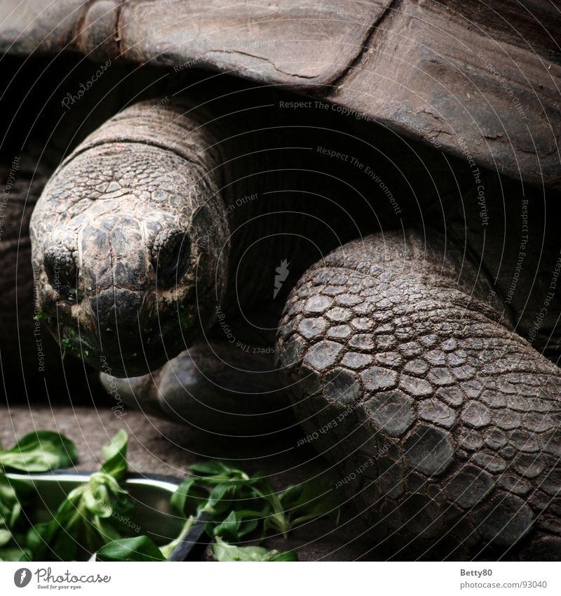 Kassiopeia Schildkröte Riesenschildkröte Reptil Elefantenschildkröte Tier gepanzert Panzer Landschildkröte Fressen