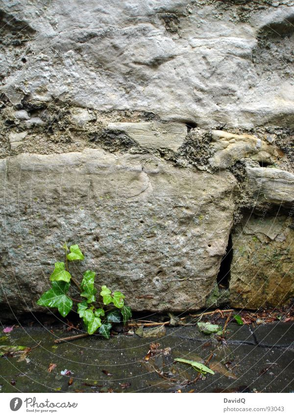 Efeu Pflanze Wand Mauer Nische Hoffnung Ranke ausbreiten Wachstum grün grau kalt nass historisch Garten Park Hedera Stein Felsen Ecke Spalte Wasser Regen Kraft