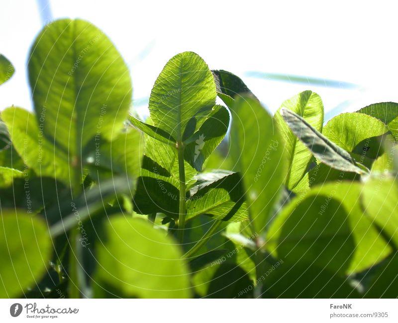 Klee grün Pflanze Blatt