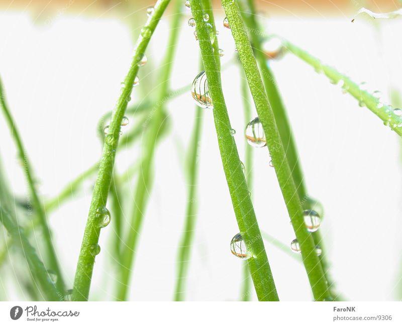 junges Gemüse Pflanze grün Wassertropfen