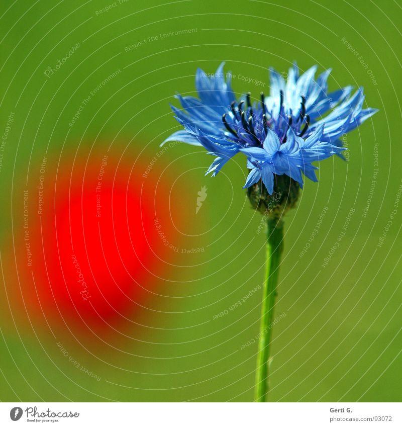 rotpunkt Blüte Pflanze Kornblume Lichtstimmung hell grün Blume Flockenblume Korbblütengewächs Heilpflanzen Mohn Mohnblüte Farbfleck erleuchten Sommer Farbe