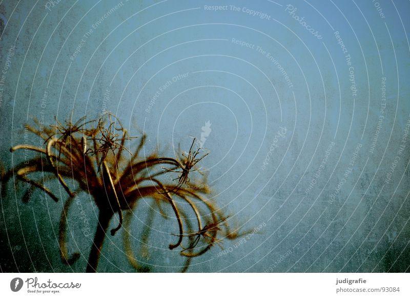 Vom letzten Sommer Natur Himmel Pflanze Farbe Herbst Tod Stern (Symbol) Ende Wildtier trocken stachelig getrocknet Kratzer Heilpflanzen Dill Unkraut