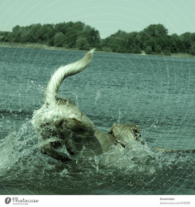 A A A T T T A C K E E E E Wasser Sommer Freude springen Hund See Schwimmen & Baden Lebensfreude Säugetier spritzen Schwanz
