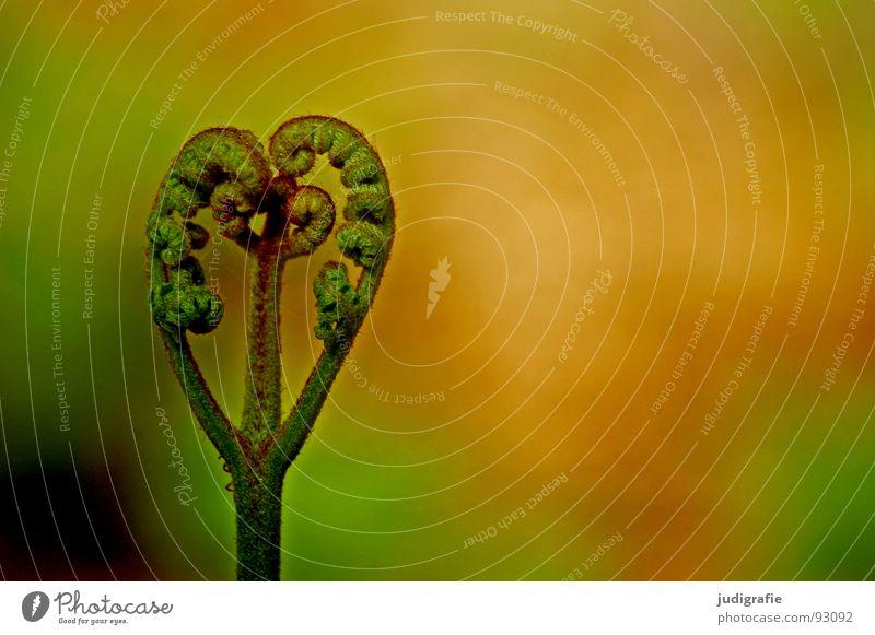 Farn Natur grün Pflanze Leben Kraft Herz Wachstum Faust Trieb Echte Farne gedeihen Jungpflanze zusammengerollt