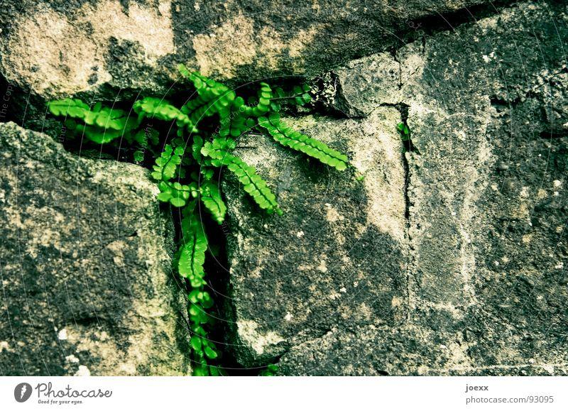 Man schlägt sich so durch … bedrängen einrichten Durchsetzungsvermögen eingeengt Fuge Gemäuer Granit grau grün Mauer Pflanze Furche Schlitz Steinwand Wand