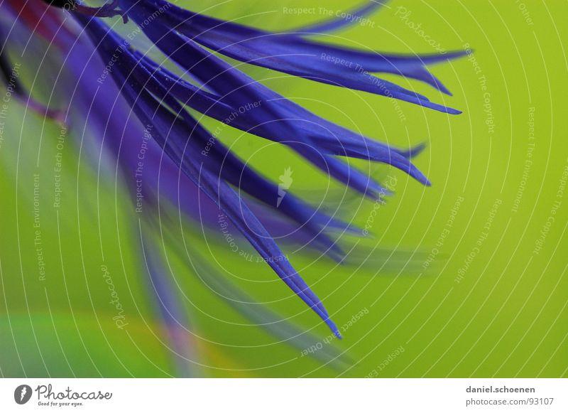 150mm Makro Blüte Blume abstrakt Hintergrundbild Unschärfe violett grün Frühling Sommer Kornblume Makroaufnahme Nahaufnahme Detailaufnahme blau