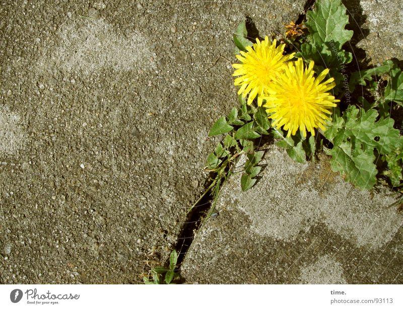 Kräfteverhältnis [II] grün Pflanze Einsamkeit gelb grau Stein Beton Erde Lebensfreude Löwenzahn Verkehrswege Furche Pflastersteine Ausdauer Überleben Grünpflanze
