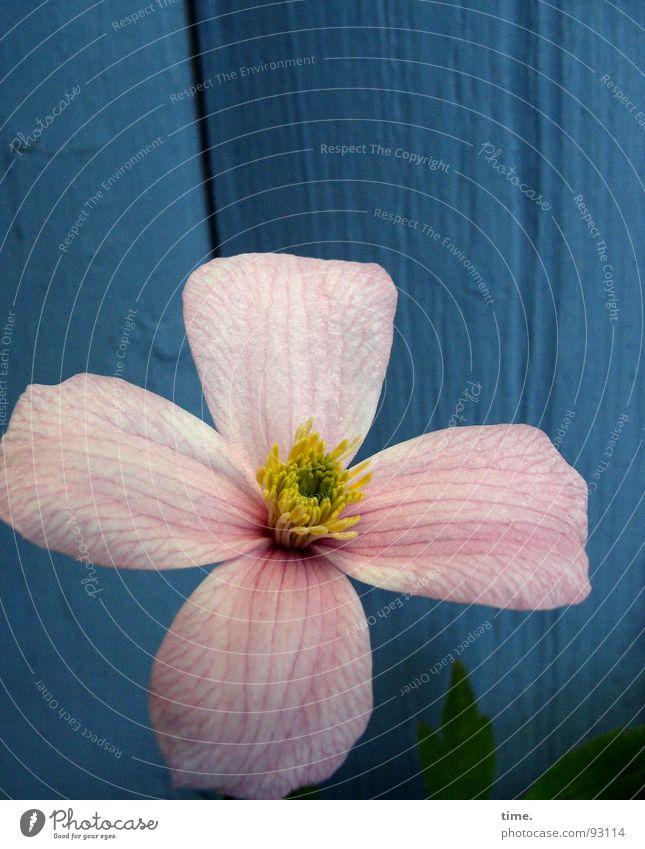 Propellerblume, sagt Lukas Blume grün blau Pflanze gelb Wand Blüte Frühling Garten Holz rosa zart Wachsamkeit Waldrebe