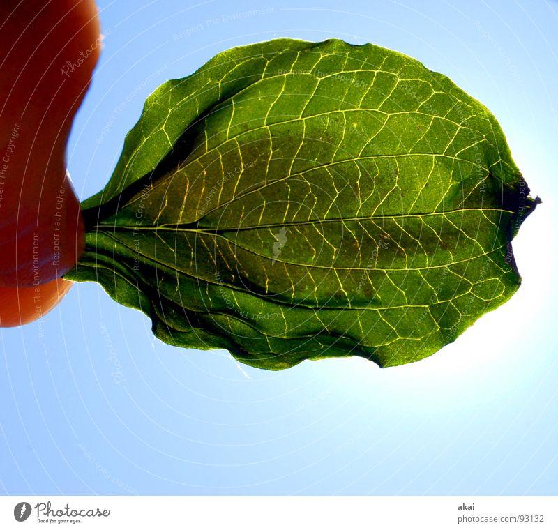 Das Blatt 11 Natur Himmel Baum Sonne grün blau Pflanze Blatt Leben Garten Park Kraft Hintergrundbild Umwelt geschlossen Sträucher