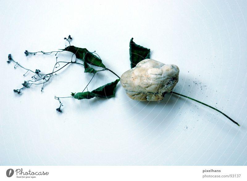 Tod durch Steinigung Blume Freisteller Studioaufnahme getrocknet vertrocknet Textfreiraum unten Symbole & Metaphern Symbolismus Vergänglichkeit verwundbar welk